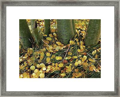 Aspen Tree Boles In Leaves Framed Print