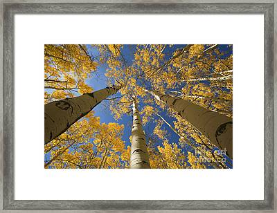 Aspen Tree Canopy 1 Framed Print