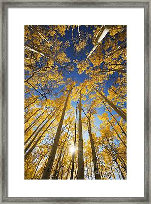 Aspen Tree Canopy 3 Framed Print by Ron Dahlquist - Printscapes
