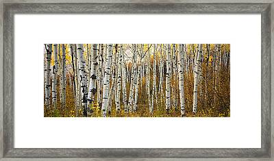 Aspen Tree Grove Framed Print