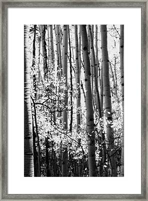 Aspen Trees Black And White Framed Print