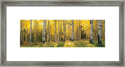 Aspen Trees In A Forest, Coconino Framed Print by Panoramic Images