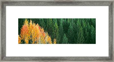 Aspen Trees In A Forest, Taggart Lake Framed Print by Panoramic Images