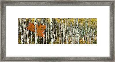 Aspen Trees In A Forest, Valley Trail Framed Print by Panoramic Images