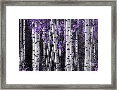 Aspen Trunks Lavender Leaves Framed Print by John Stephens
