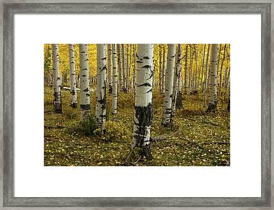 Aspens - 0245 Framed Print