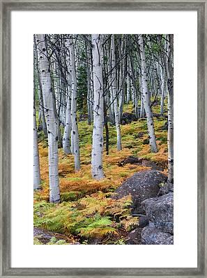 Aspens And Golden Ferns - Www.thomasschoeller.photography Framed Print by Thomas Schoeller