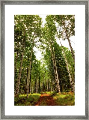 Aspens Galore Framed Print