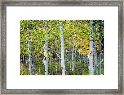 Aspens In Autumn 6 - Santa Fe National Forest New Mexico Framed Print