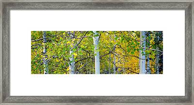 Aspens In Autumn Panorama 2 - Santa Fe National Forest Framed Print