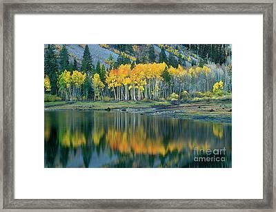 Aspens In Fall Color Along Lundy Lake Eastern Sierras California Framed Print