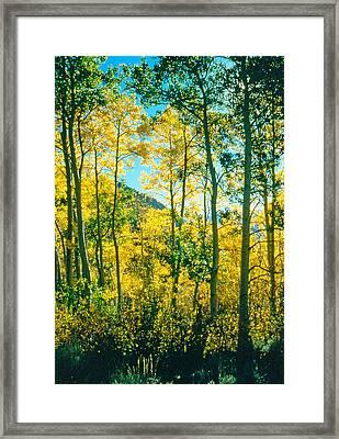 Aspens In Mammoth Framed Print
