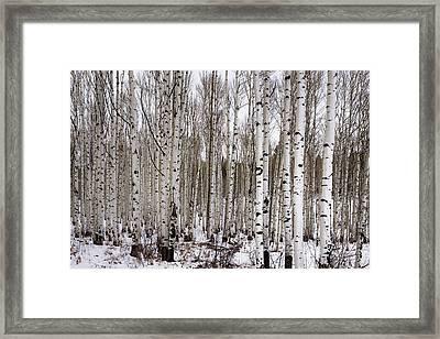 Aspens In Winter - Colorado Framed Print