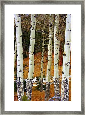 Aspens Of White Framed Print by Julie Lueders