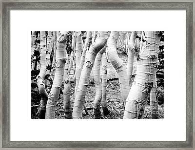 Aspens Framed Print by Olivier Steiner