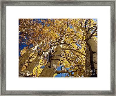 Aspen's Reaching  Framed Print by Scott McGuire
