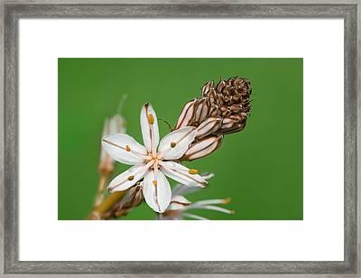 Asphodelus Microcarpus Framed Print by Yuri Peress