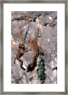 Assamese Macaques Playing Framed Print by Terry Whittaker