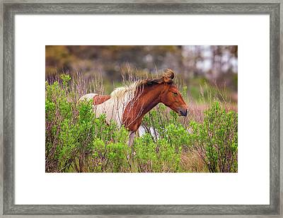 Assateague Pinto Framed Print by Rick Berk