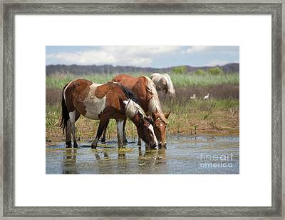 Assateague Ponies Tale Drink Framed Print