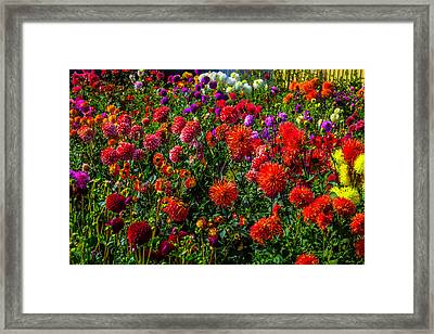 Assorted Dahlias Framed Print by Garry Gay