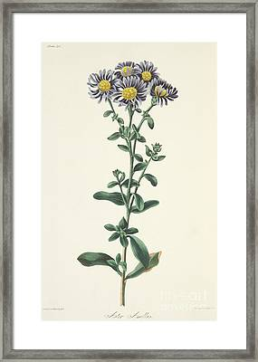 Aster Amellus Framed Print by Margaret Roscoe