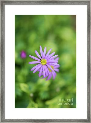 Pilliga Daisy Framed Print