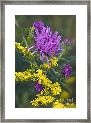 Aster And Goldenrod - D009195 Framed Print