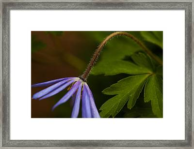 Aster Bend Framed Print by Karol Livote