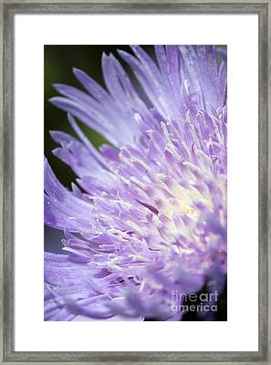 Aster Bloom Framed Print by Jeannie Burleson