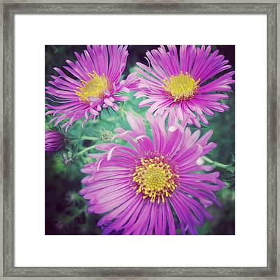 Aster Framed Print by Jeff Klingler