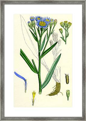 Aster Tripolium Framed Print by Unknown