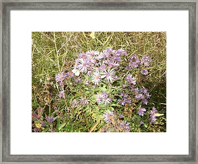 Asters And Butterflies Framed Print by Paula Prindle
