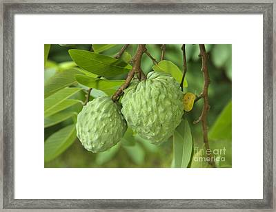 Atemoya Fruit Framed Print by Inga Spence
