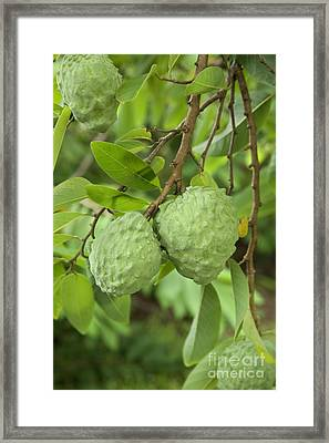 Atemoya Fruit On Branch Framed Print by Inga Spence