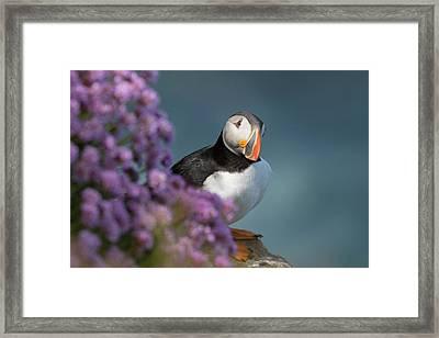 Framed Print featuring the photograph Atlantic Puffin - Scottish Highlands by Karen Van Der Zijden