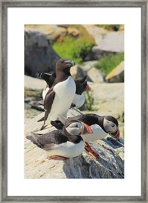 Atlantic Puffins And Razorbill Framed Print by John Burk