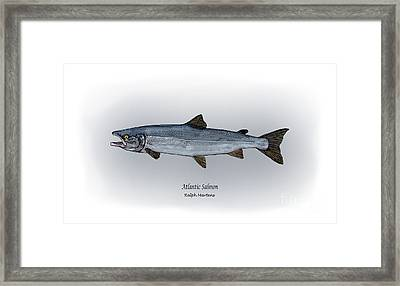 Atlantic Salmon Framed Print by Ralph Martens