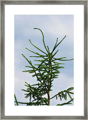 Atop The Pine Tree Framed Print by JAMART Photography