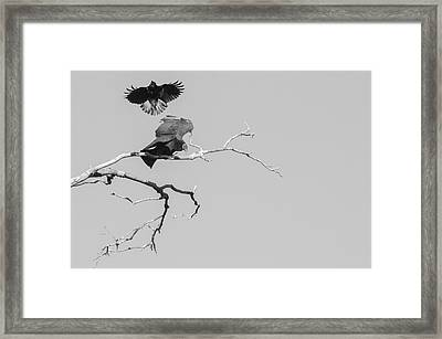 Framed Print featuring the photograph Attack On A Buzzard by Carolyn Dalessandro