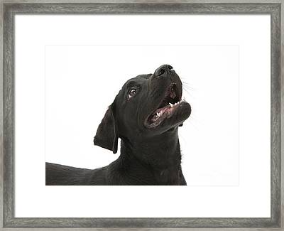 Attentive Black Lab Pup Framed Print by Mark Taylor