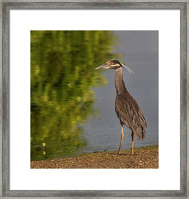 Framed Print featuring the photograph Attentive Heron by Jean Noren