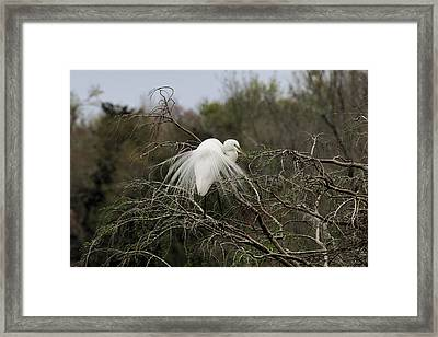 Attractive Plumage Framed Print