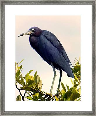 Audubon Blue Framed Print