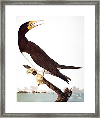 Audubon: Booby Framed Print