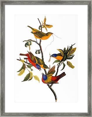 Audubon: Bunting, 1827 Framed Print by Granger
