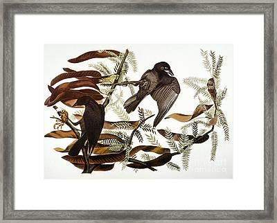 Audubon: Crow Framed Print by Granger