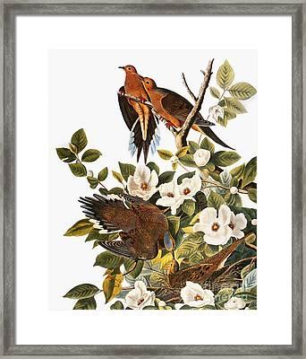 Audubon: Dove Framed Print by Granger