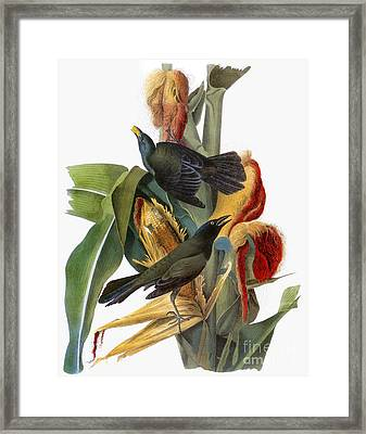 Audubon: Grackle Framed Print by Granger