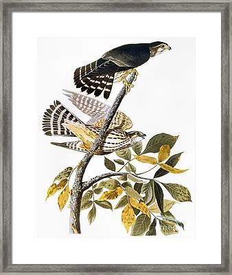 Audubon: Hawk Framed Print